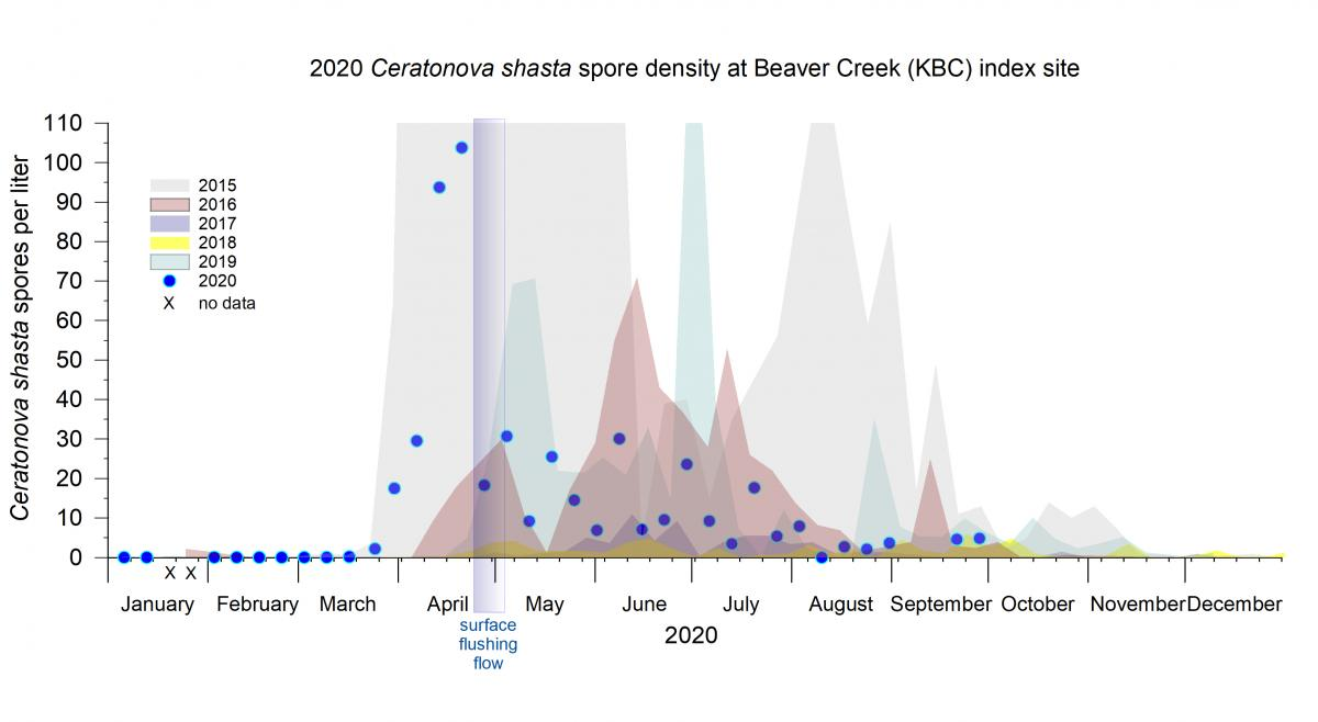 Density of Ceratonova shasta in water samples collected at Beaver Creek index site on the Klamath River 2020